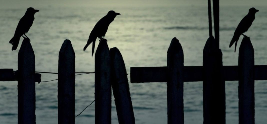 Crows , Attacking , Forgets, exacting , revenge , humans, demonstrates,
